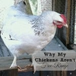 Why We Don't Have Free-Range Chickens