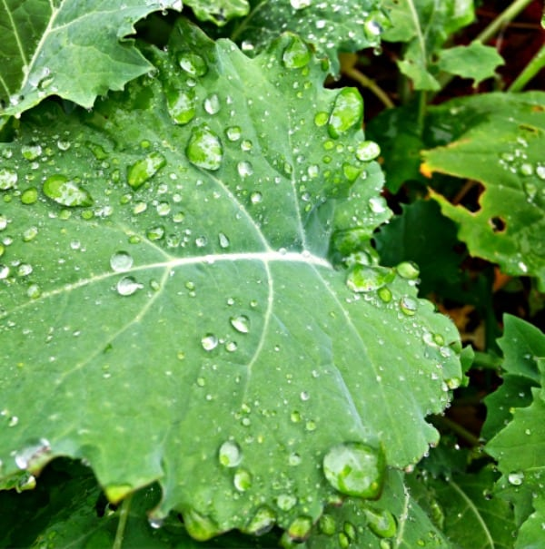 kale leaves with water droplets in early morning spring cottage garden