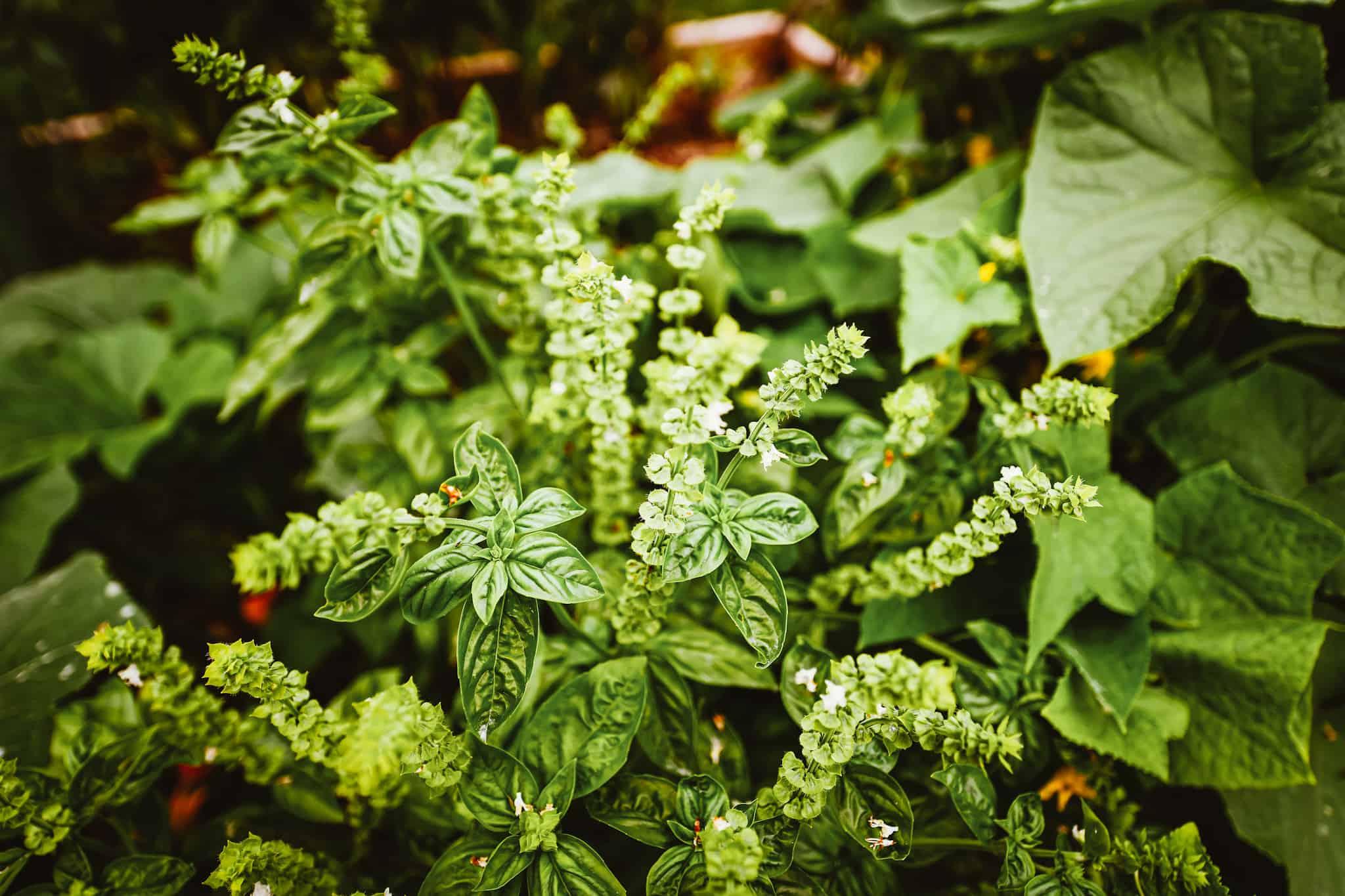 flowering basil plant