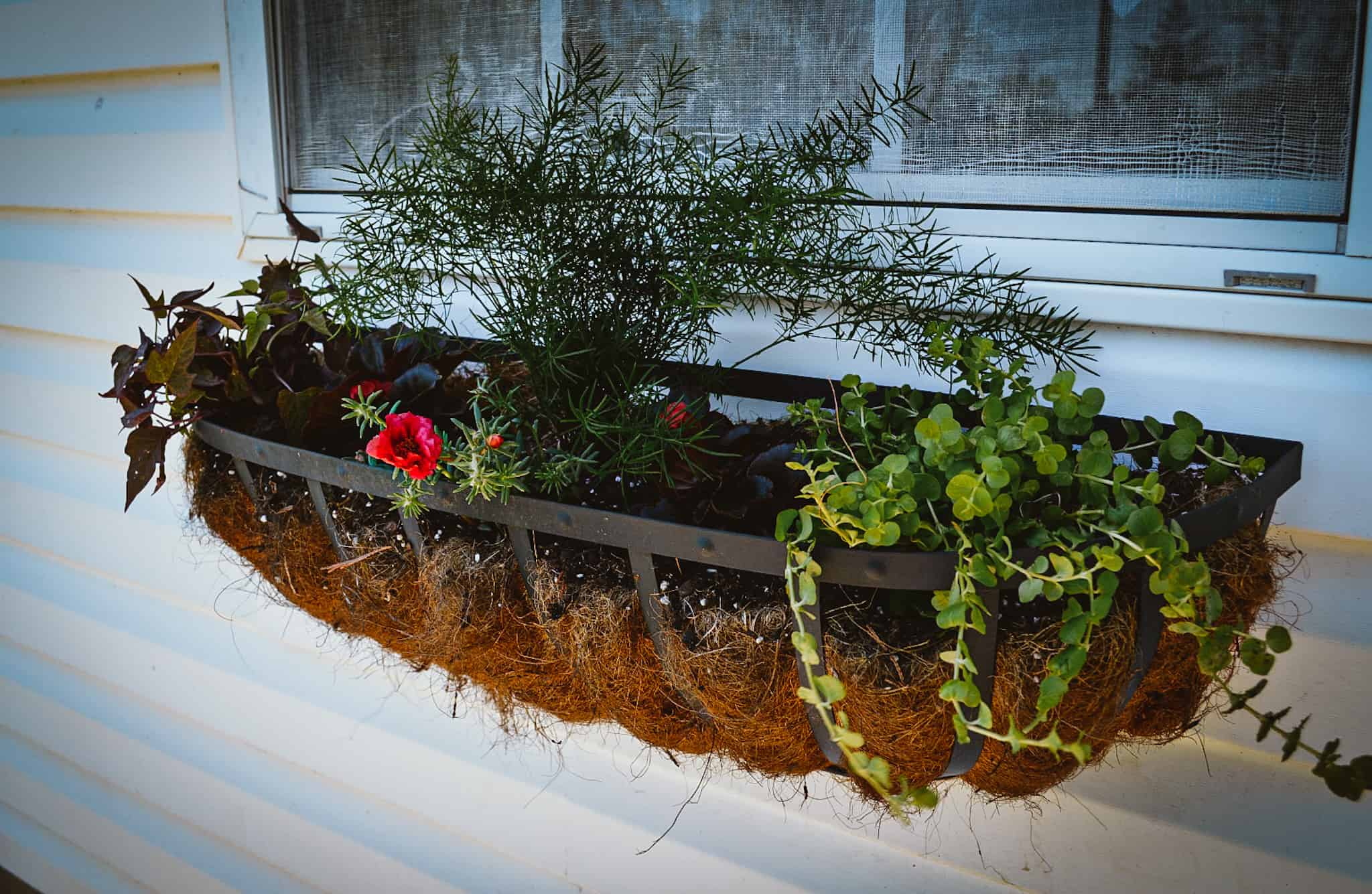 window box planter with creeping Jenny and asparagus fern