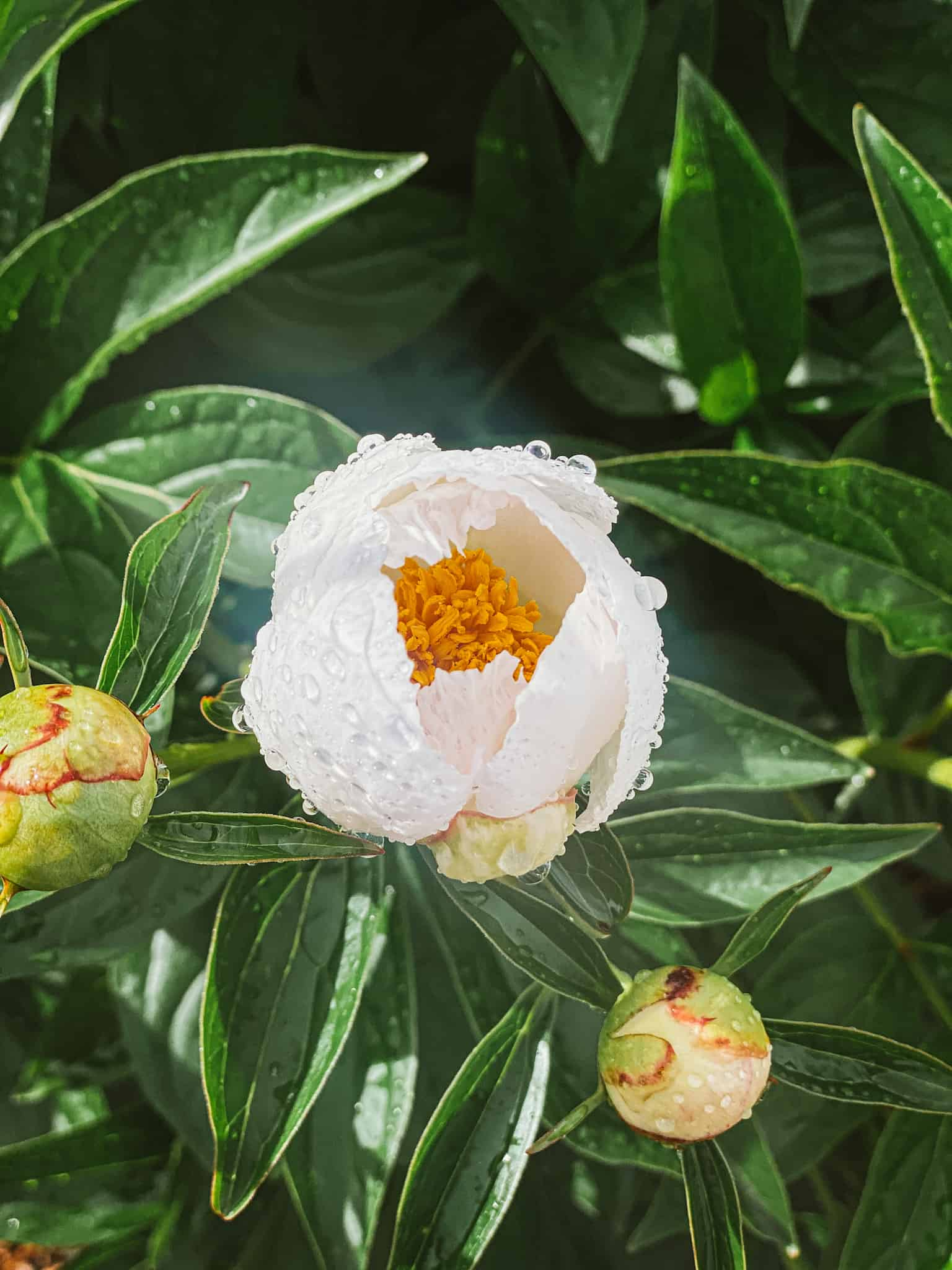 White peony with water droplets growing in in early morning garden