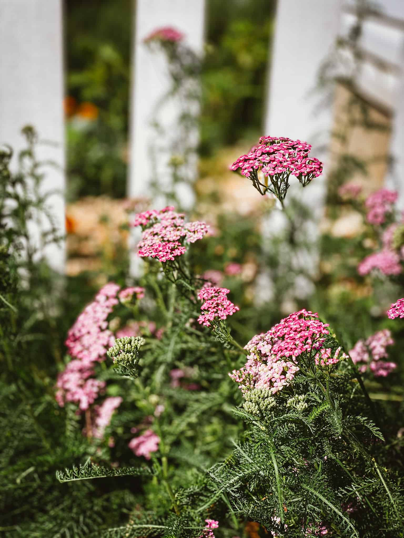 Pink yarrow growing along white picket fence