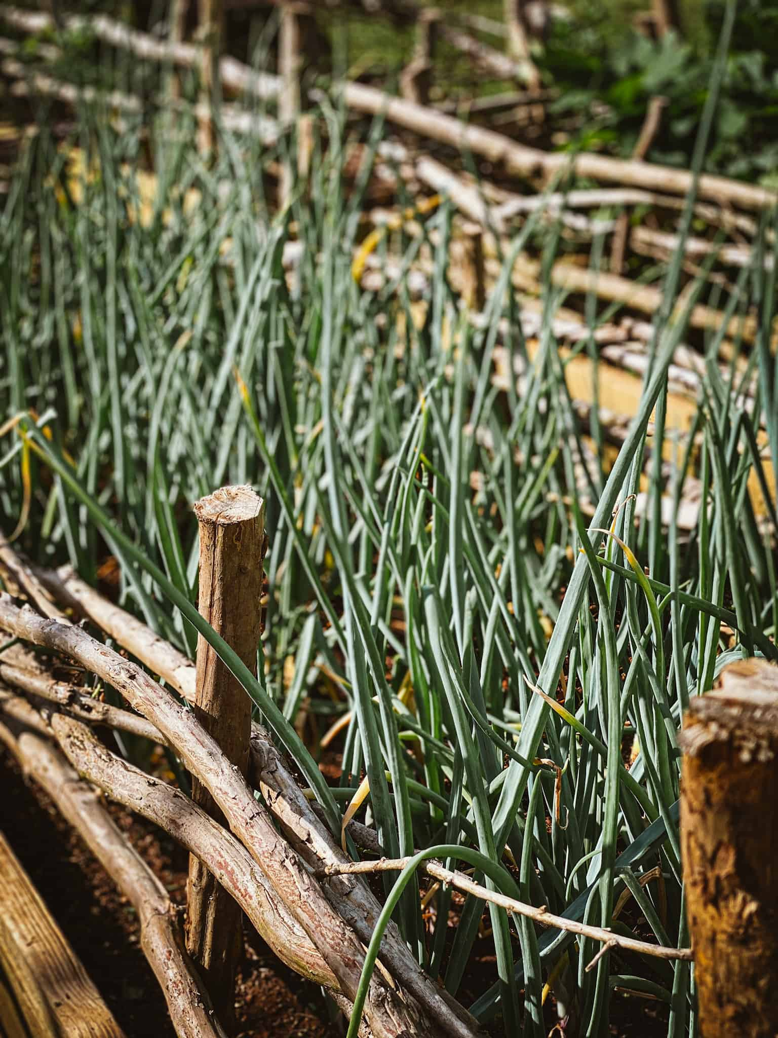 onions growing in a raised garden bed with wattle fencing