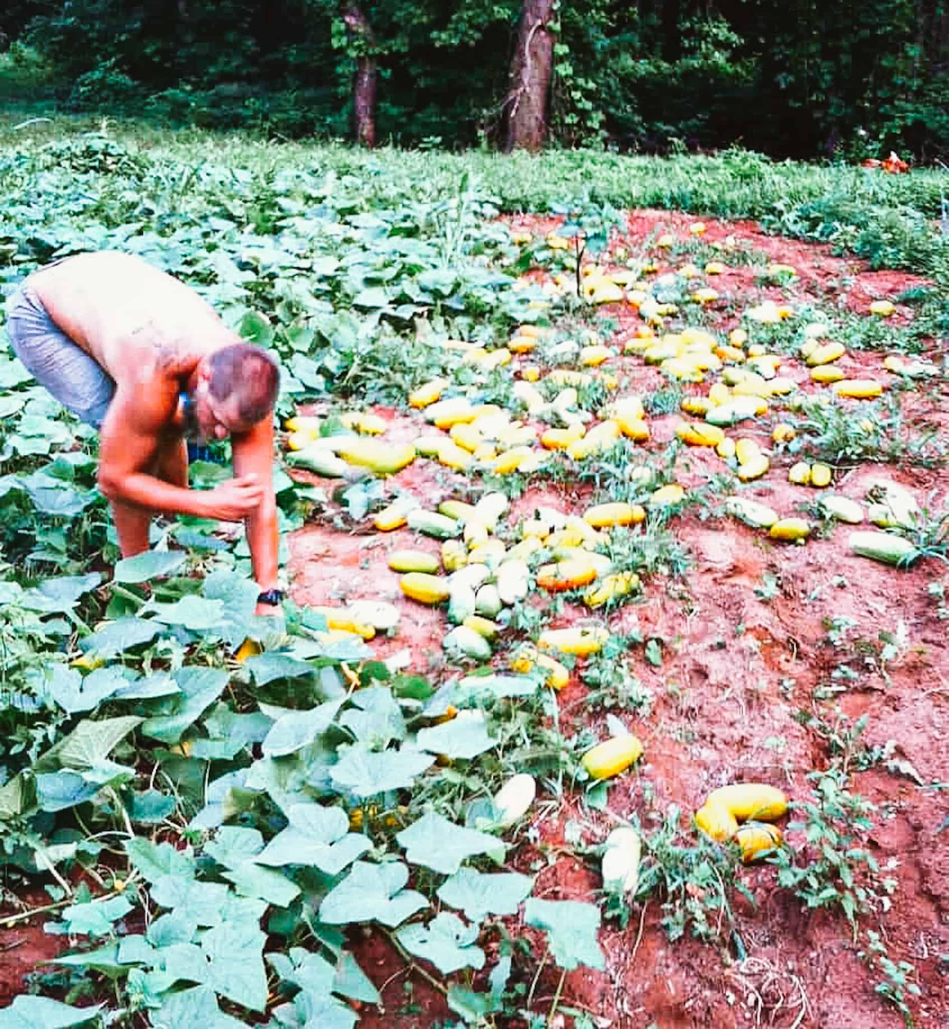 man picking cucumbers